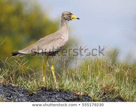 Profile of an African Wattled Plover (Vanellus Senegallus) Stock photo © davemontreuil