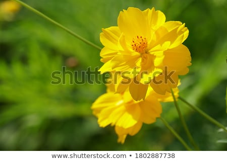 Aster flower in garden Stock photo © stoonn