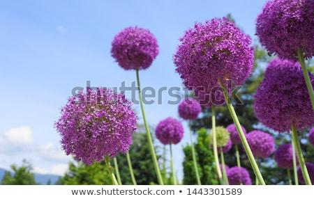 лука цветы цветок Blue Sky природы Сток-фото © xedos45