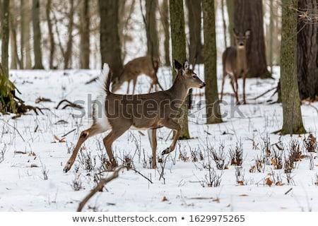 Szarvas lefelé erdő természet Stock fotó © brm1949