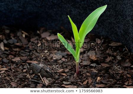 Fiatal kukorica növény hajtás növekvő föld Stock fotó © stevanovicigor