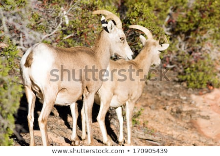 Wild Animal Alpine Mountain Goats Searching for Food High Forest Stock photo © cboswell