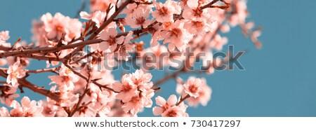 Primavera nuevos crecimiento flores melocotón árbol Foto stock © dgilder
