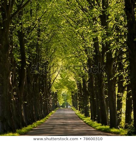 Sáv zöld öreg fák nagy park Stock fotó © compuinfoto