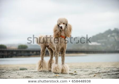 padrão · poodle · branco · animal · animal · de · estimação · fundo · branco - foto stock © cynoclub