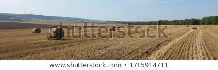 Hay bale rolls in field Stock photo © stevanovicigor