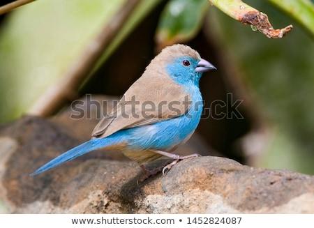 Bleu jardin Afrique animaux profile belle Photo stock © davemontreuil