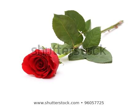 Minyatür kırmızı gül gül yeşil bitki romantizm Stok fotoğraf © julian_fletcher