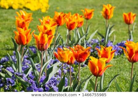 tulips in the Baroque Mirabell Garden  Stock photo © meinzahn