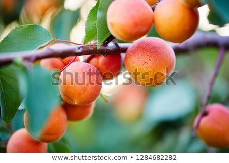 árvore fresco comida fruto jardim Foto stock © funix