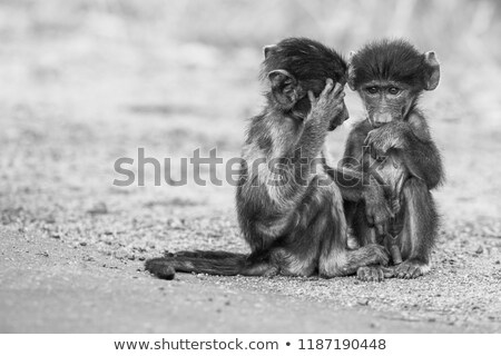 two vervet monkeys with two babies in the kruger national park stock photo © simoneeman