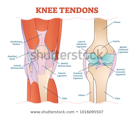 Foot Muscles and Tendons Stock photo © bluering