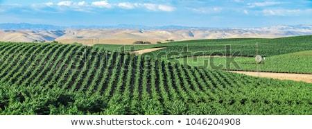 виноградник человека рук виноград Сток-фото © Digifoodstock