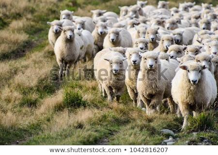 羊 · ウール · フェンス · ブラウン · 白 · 絞首刑 - ストックフォト © adrenalina
