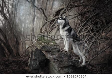Husky blanco negro piel ilustración fondo arte Foto stock © bluering
