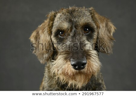 Stock photo: lovely puppy wired hair dachshund portrait in gray photo studio