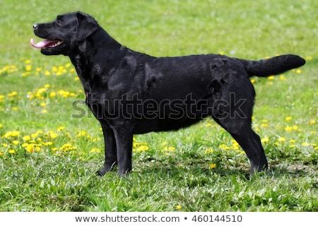 black labrador dog standing at full height in the summer side stock photo © goroshnikova