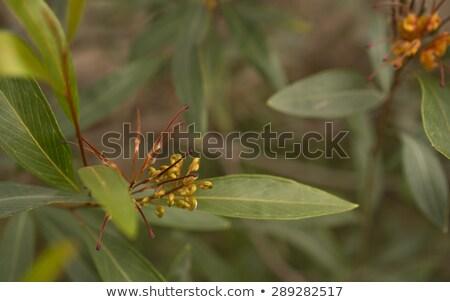 Australian Flower Grevillea Cats Paw Floral Background Stok fotoğraf © Sherjaca