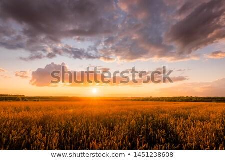 Sunset and rye Stock photo © Pilgrimego