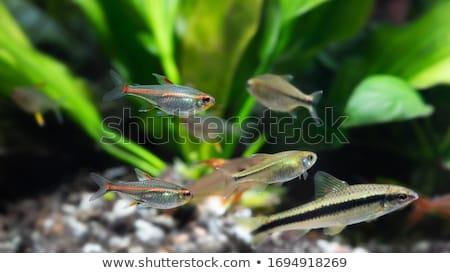 Aquarium Fish and Decorative Algae Color Poster Stock photo © robuart
