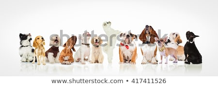 adorable black and white shih tzu sitting and looking up stock photo © feedough