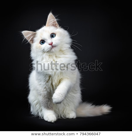 Blue eyed ragdoll cat / kitten, isolated on black background. Stock photo © CatchyImages