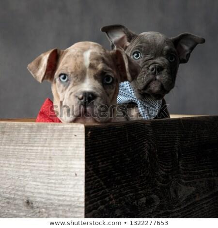 ストックフォト: 好奇心の強い · 青 · アメリカン · 子犬 · 隠蔽 · 後ろ