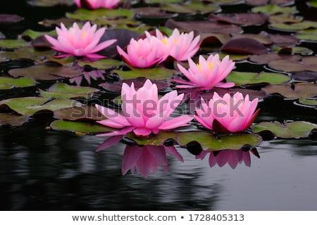 roze · lotus · meer · zon · bloem - stockfoto © fyletto
