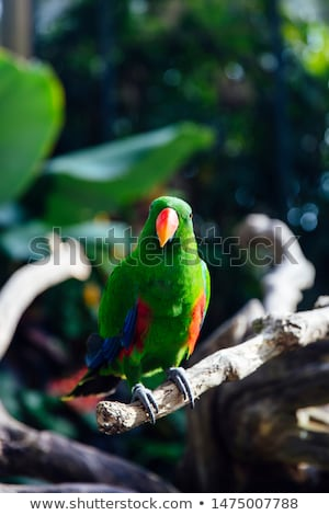 Green eclectus parrot with orange nib and red and blue feathers Stock photo © boggy