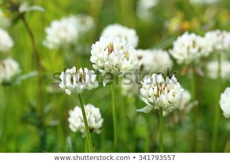 Lóhere fehér levelek virágok fából készült sekély Stock fotó © AGfoto