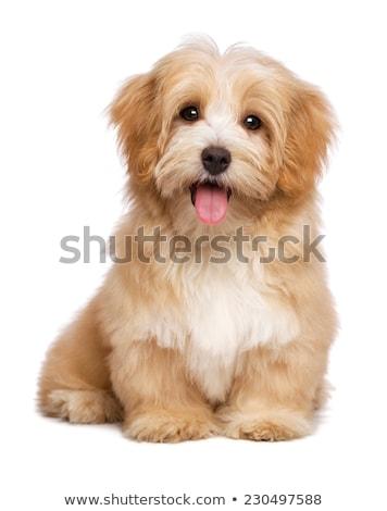 портрет Cute havanese собака изолированный Сток-фото © vauvau