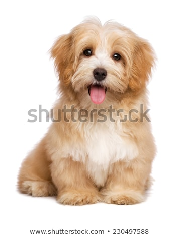 portrait of a cute havanese dog stock photo © vauvau