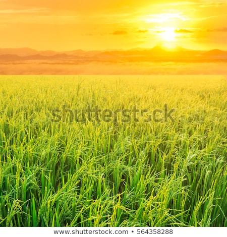 Rice field in sunrise time for background Stock photo © galitskaya