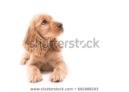 Cocker Spaniel Stock photo © cteconsulting
