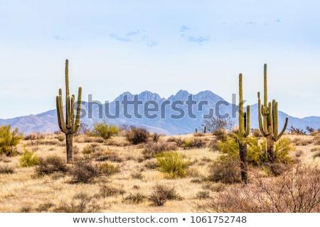 cacto · deserto · americano · cena · rochas · pôr · do · sol - foto stock © dayzeren
