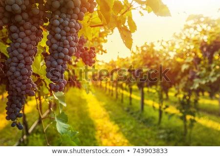 tramonto · autunno · raccolto · maturo · uve · cielo - foto d'archivio © kwest