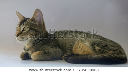 silver tabby baby cat looking at something  Stock photo © feedough
