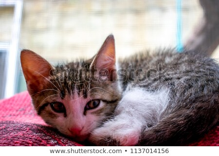seated little silver tabby cat Stock photo © feedough