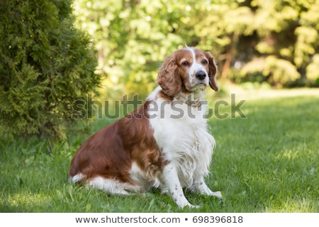 Welsh Springer Spaniel Stock photo © eriklam