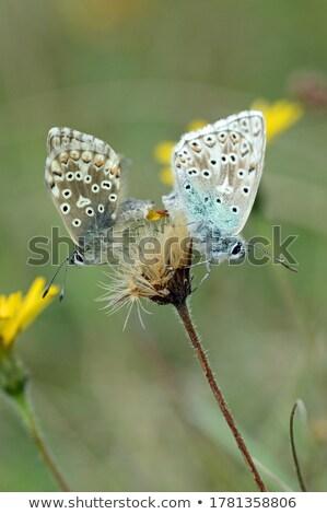 Chalkhill Blue Butterflies Mating stock photo © suerob