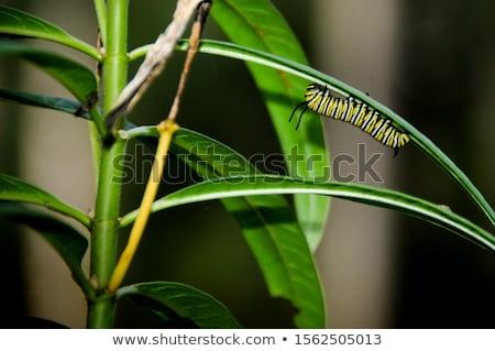 Caterpillar диких цветов дымчатый гор парка Сток-фото © wildnerdpix
