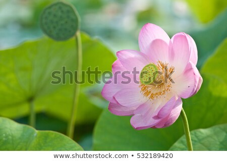 Sacred lotus flower living fossil (close up) Stock photo © olgaru79