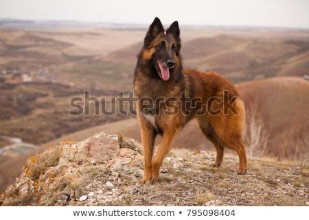 犬 · 側面図 · 座って · 孤立した · 白 · 警察 - ストックフォト © eriklam