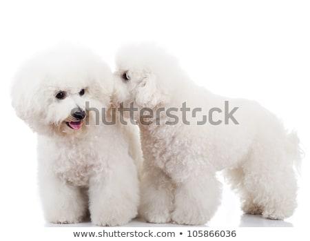 ペア · 愛らしい · 子犬 · 犬 · 一緒に · 白 - ストックフォト © feedough
