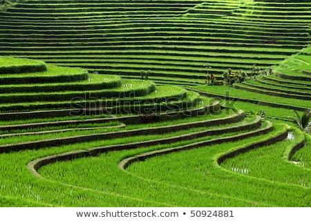 arrozal · bali · Indonésia · paisagem · campo · arroz - foto stock © travelphotography