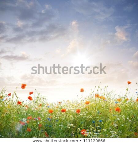 Pipacs vad virágok tavasz jelenet virág nyár Stock fotó © goce