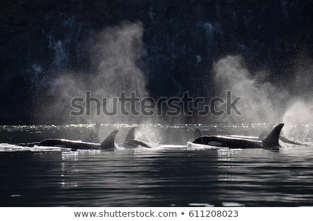 Killer Whale Breathing Stock photo © searagen