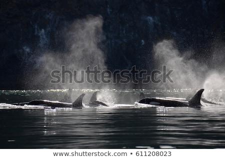 assassino · baleia · água · natação · mar · diversão - foto stock © searagen