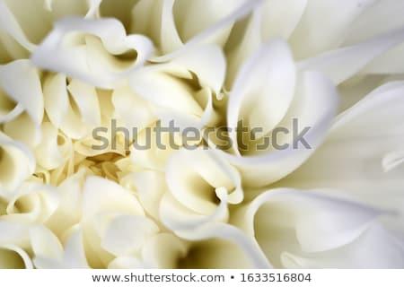 Witte dahlia bloem geïsoleerd shot tuin Stockfoto © stocker