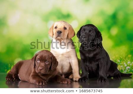 Stockfoto: Drie · labrador · retriever · puppies · een · week · oude